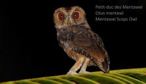 Petit-duc des Mentawei - Otus mentawi - Mentawai Scops Owl