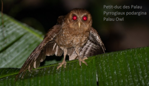 Petit-duc des Palau - Pyrroglaux podargina - Palau Owl