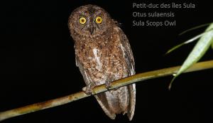 Petit-duc des îles Sula - Otus sulaensis - Sula Scops Owl