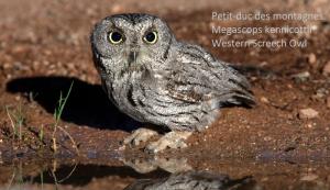 Petit-duc des montagnes - Megascops kennicottii - Western Screech Owl