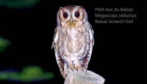 Petit-duc du Balsas - Megascops seductus - Balsas Screech Owl