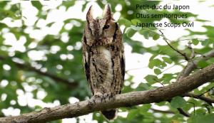 Petit-duc du Japon - Otus semitorques - Japanese Scops Owl