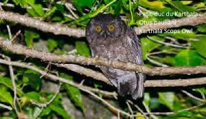 Petit-duc du Karthala - Otus pauliani - Karthala Scops Owl