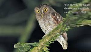 Petit-duc du rio Napo - Megascops napensis - Napo Screech Owl