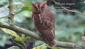 Petit-duc élégant - Otus elegans - Ryukyu Scops Owl