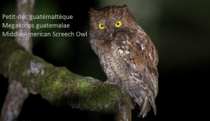 Petit-duc guatémaltèque - Megascops guatemalae - Middle American Screech Owl