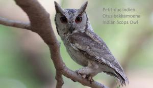 Petit-duc indien - Otus bakkamoena - Indian Scops Owl