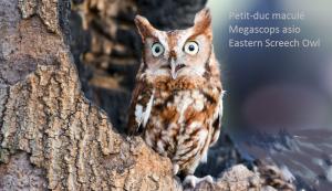 Petit-duc maculé - Megascops asio - Eastern Screech Owl