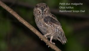Petit-duc malgache - Otus rutilus - Rainforest Scops Owl