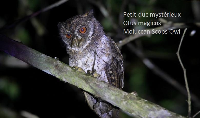 Petit-duc mystérieux - Otus magicus - Moluccan Scops Owl