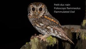 Petit-duc nain - Psiloscops flammeolus - Flammulated Owl