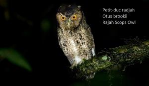 Petit-duc radjah - Otus brookii - Rajah Scops Owl