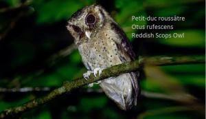 Petit-duc roussâtre - Otus rufescens - Reddish Scops Owl