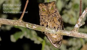 Petit-duc scieur - Otus insularis - Seychelles Scops Owl