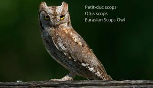 Petit-duc scops - Otus scops - Eurasian Scops Owl