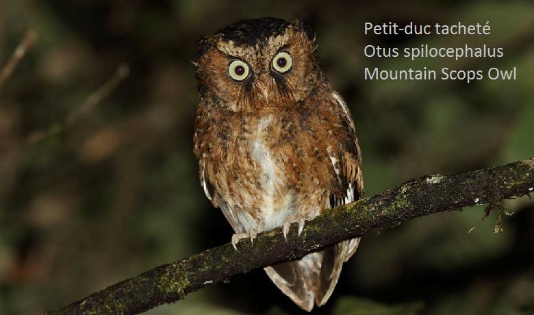Petit-duc tacheté - Otus spilocephalus - Mountain Scops Owl