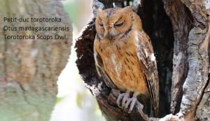 Petit-duc torotoroka - Otus madagascariensis - Torotoroka Scops Owl