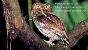 Petit-duc vermiculé - Megascops vermiculatus - Vermiculated Screech Owl