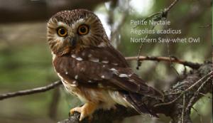 Petite Nyctale - Aegolius acadicus - Northern Saw-whet Owl