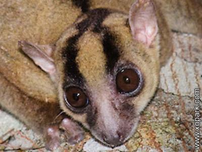 Phaner - Phaner - Fork-marked lemur - Cheirogaleidés - Cheirogaleidae