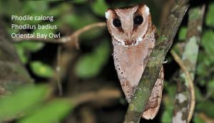 Phodile calong Phodilus badius Oriental Bay Owl