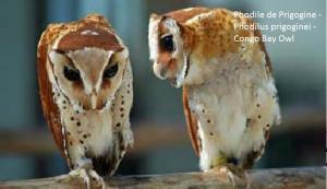 Phodile de Prigogine - Phodilus prigoginei - Congo Bay Owl