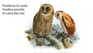 Phodile du Sri Lanka Phodilus assimilis Sri Lanka Bay Owl