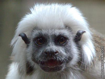 Pinché - Saguinus - Callitrichidés - Callitrichidae - Primates