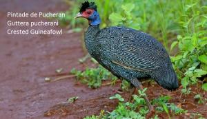 Pintade de Pucheran Guttera pucherani Crested Guineafowl
