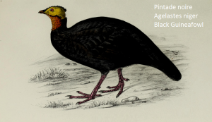 Pintade noire Agelastes niger Black Guineafowl