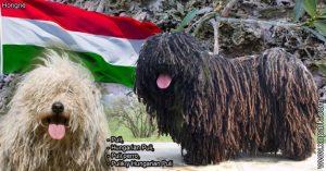 Puli,Hungarian Puli,Puli perro,Pulik y Hungarian Puli,