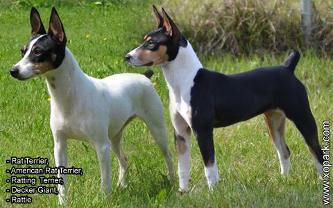Rat Terrier –American Rat Terrier –Ratting Terrier –Decker Giant –Rattie – xopark1