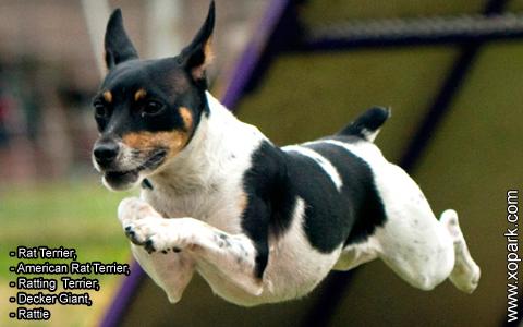 Rat Terrier –American Rat Terrier –Ratting Terrier –Decker Giant –Rattie – xopark2