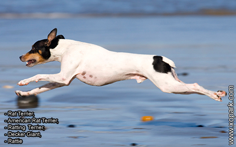 Rat Terrier –American Rat Terrier –Ratting Terrier –Decker Giant –Rattie – xopark3