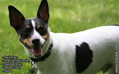 Rat Terrier –American Rat Terrier –Ratting Terrier –Decker Giant –Rattie – xopark4