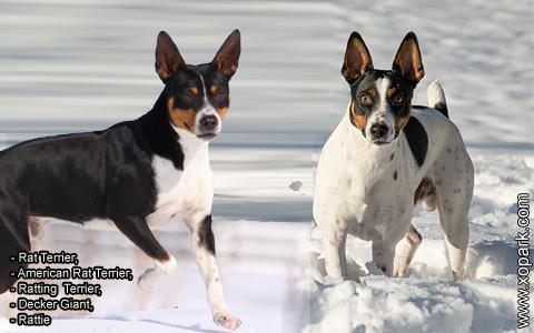 Rat Terrier –American Rat Terrier –Ratting Terrier –Decker Giant –Rattie – xopark5