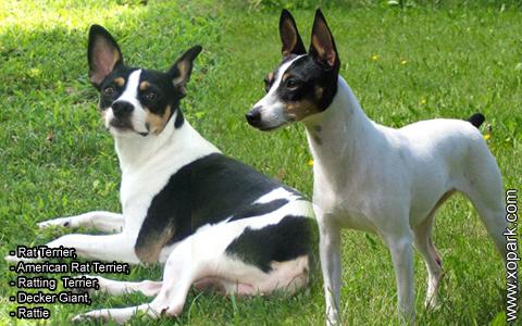 Rat Terrier –American Rat Terrier –Ratting Terrier –Decker Giant –Rattie – xopark6
