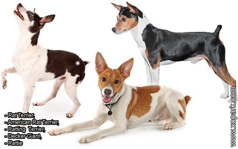 Rat Terrier –American Rat Terrier –Ratting Terrier –Decker Giant –Rattie – xopark7
