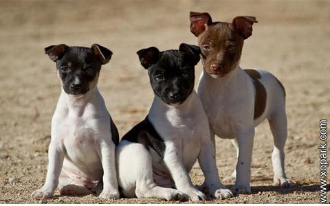 Rat Terrier –American Rat Terrier –Ratting Terrier –Decker Giant –Rattie – xopark8