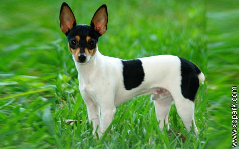 Rat Terrier –American Rat Terrier –Ratting Terrier –Decker Giant –Rattie – xopark9