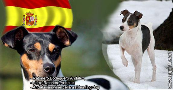 Ratonero Bodeguero Andaluz, Andalusian wine-cellar rat-hunting dog,Perro Ratonero Andaluz