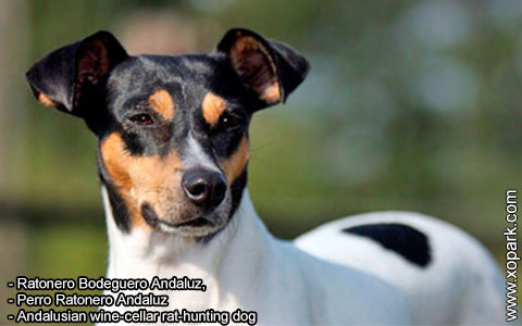 Ratonero Bodeguero Andaluz – Andalusian wine-cellar rat-hunting dog – xopark1