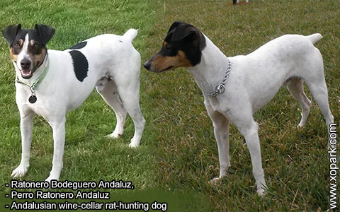 Ratonero Bodeguero Andaluz – Andalusian wine-cellar rat-hunting dog – xopark5