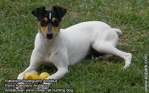 Ratonero Bodeguero Andaluz – Andalusian wine-cellar rat-hunting dog – xopark6