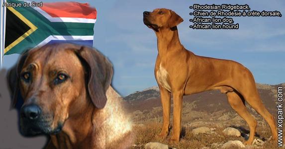Rhodesian Ridgeback, chien de Rhodésie à crête dorsale,African lion dog,African lion hound