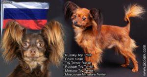 Russkiy Toy,Petit chien russe, Toy Terrier Russe, Russian Toy Terrier, Moscow Toy Terrier, Moscovian Miniature Terrier