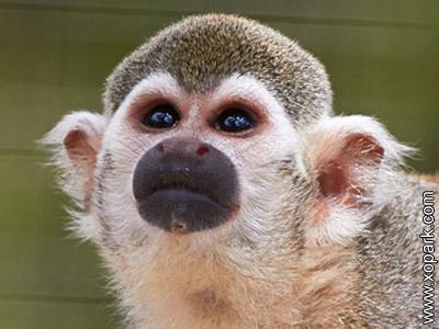 Saïmiri - Sapajous - Singes-écureuils -Saimiri -Squirrel monkey -Primates