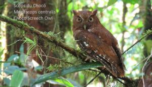 Scops du Chocó - Megascops centralis - Choco Screech Owl