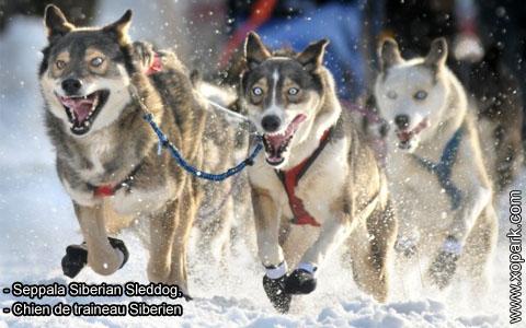 Seppala Siberian Sleddog – Chien de traineau Siberien – xopark4
