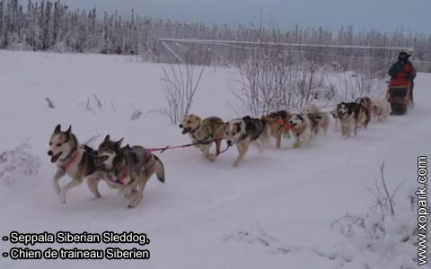 Seppala Siberian Sleddog – Chien de traineau Siberien – xopark9
